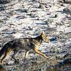 Coyote on the Asilomar Coast