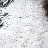 Mommoth Lakes trail, mountain lion print in snow