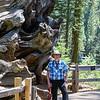 Joe standing by fallen, hollowed giant sequoia