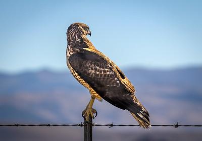 A Nevada Hawk