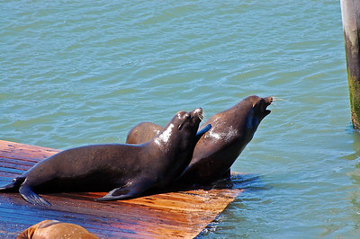 Sea Lions near Fisherman's Wharf
