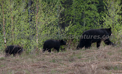 Saw many black bear moms with 2 cubs.
