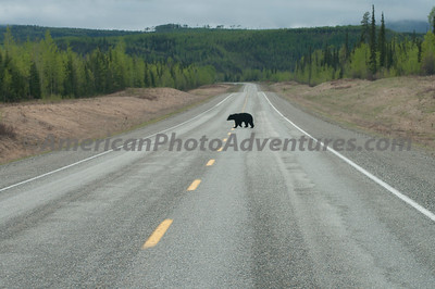 Why did the bear cross the road?  I didn't ask.