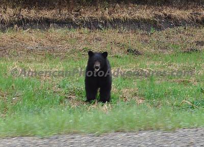 Black bears are everywhere.