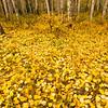 TRCA-11128: Fallen Aspen leaves