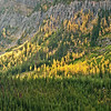 TRCA-11009: Larch and Lodgepole Pines