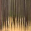 TRCA-11116: Lodgepole Pines in motion