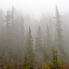 TRCA-11176: Lodgepole Pines in fog