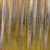 TRCA-11126: Aspen forest in motion