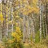TRCA-11155: Aspen forest in Jasper National Park