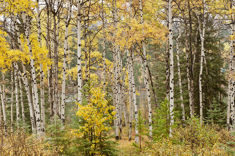 TRCA-11155: Aspen forest in Jasper National Park