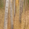 TRCA-11157: Aspens in motion -A very slow shutter speed and moving camera vertically allowed me to capture this image
