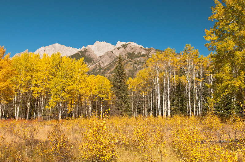 TRCA-11064: Golden Aspens in Bow Valley