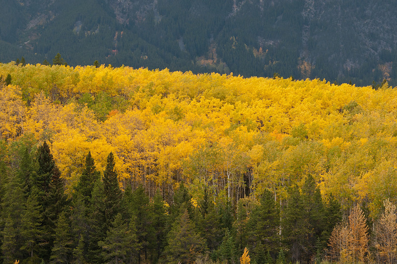 TRCA-11094: Golden Aspens on Pyramid Mountain
