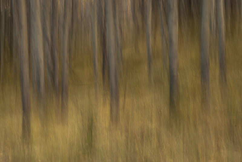 TRCA-11122: Lodgepole Pine forest in motion