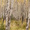TRCA-11123: Quakey Aspen Forest