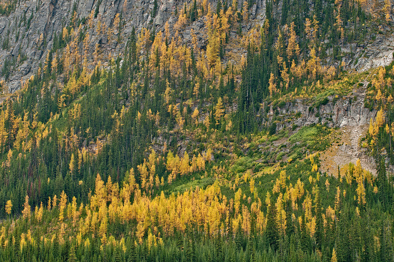 TRCA-11007: Larch Pines(yellow) amongst Lodgepole Pines (green)