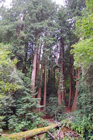 A mossy fallen redwood.
