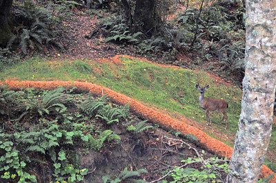 A deer we spotted walking up the road to the park. Unfortunately I blew the opportunity and the image out of the camera was almost black. But thanks to the miracle of photo processing, the picture was salvaged enough so you can actually see the deer.