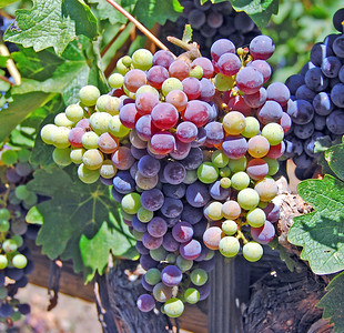Ripening grapes.