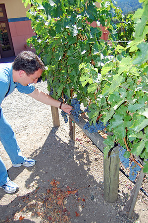 Visitors are allowed to test the grapes for themselves. The ripe grapes are sweet, but have seeds.