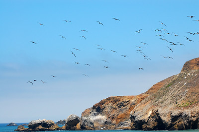 A flock of seagulls flying along the Pacific Coast.