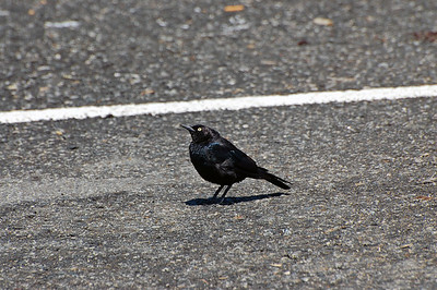A bird in the parking lot of the Sea Breeze hotel. It was our first stop off the Pacific Coast Highway on the way to Santa Cruz.