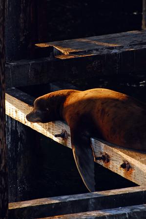 Sleeping sea lion under the wharf in Santa Cruz at sunset.