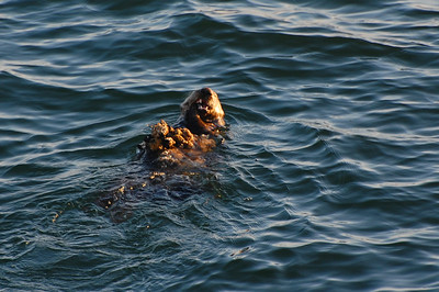 A sea otter dining on oysters.