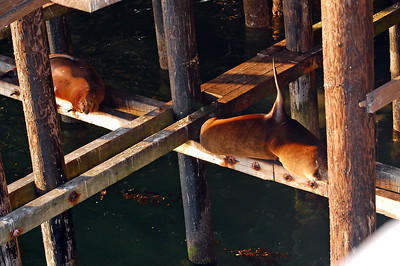 Sleeping sea lions under the wharf in Santa Cruz at sunset.