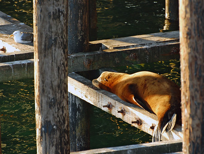 Sleeping sea lion and resting sea gull under the wharf in Santa Cruz at sunset.