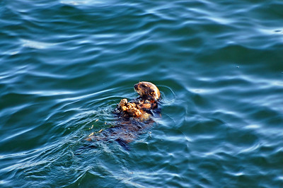 A sea otter with with oysters on his stomach.