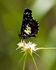 Guatemalan Patch Butterfly, Lamanai, Belize