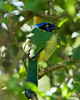 Green Jay, Mountain Pine Reserve