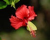 Large sulpher butterfly on hibiscus