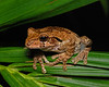Unknown species of tree frog
