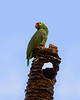 Red-lored Parrot perched above its nest