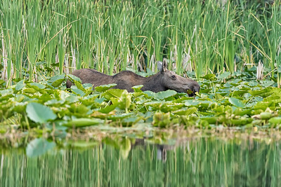 Moose 2018 at Fish Lake-