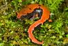 Bolitoglossa lincolni (Lincoln's Mushroomtongue Salamander) found outside of Chamula, Mexico; August 2007