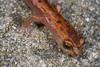 Bolitoglossa rostrata (Longnose Mushroomtongue Salamander) found on rock wall in cloud forest outside of San Cristobal de las Casas; August 2007