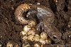 Bolitiglossa hartwegi (Hartweg's Mushroomtongue Salamander) found brooding a clutch of eggs; August 2007.