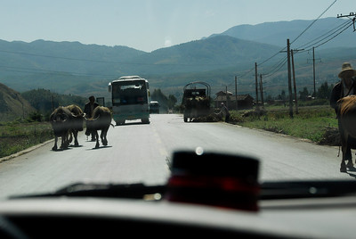 Travelling by car needs nerves of steel... the bus will not stop for the cows! And not even for YOU...!