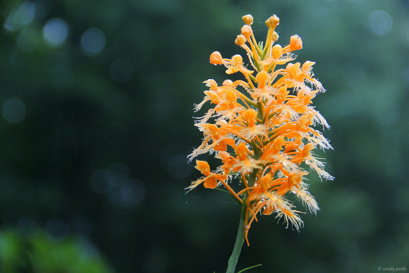 8-3-14: Clifftop orchid, after a night's rain