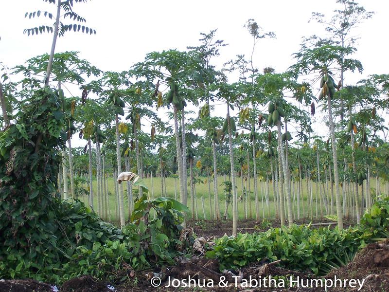 Papaya trees behind the construction zone.