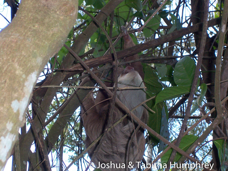 Local wild life. Sloth hanging out in a tree.