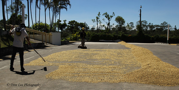 Drying Coffee Beans - Doka Estate