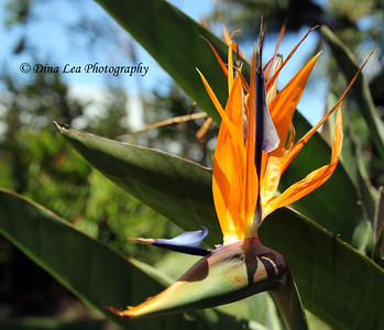 Bird of Paradise - Doka Estate