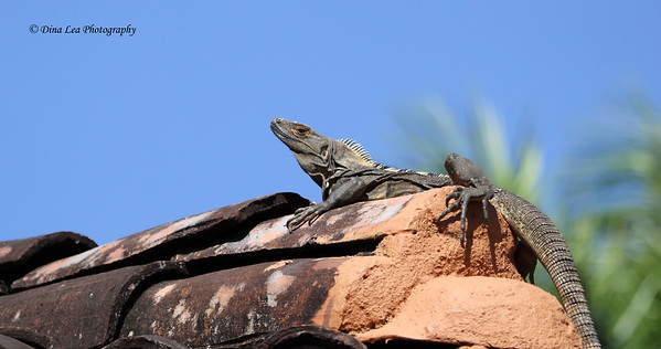 Iguana on Top of Roof