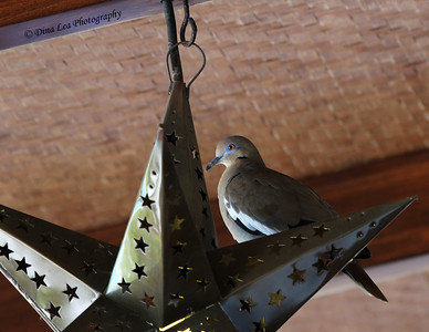 """White-Winged Dove - Reminds me of """"home (Texas)"""""""