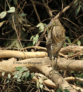 Bare-Throated Tiger Heron - Rio Frio Cruise